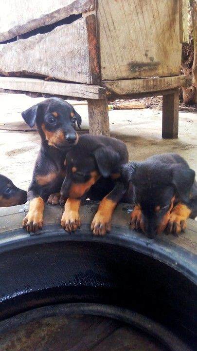 Doberman pinscher puppies for sale.
